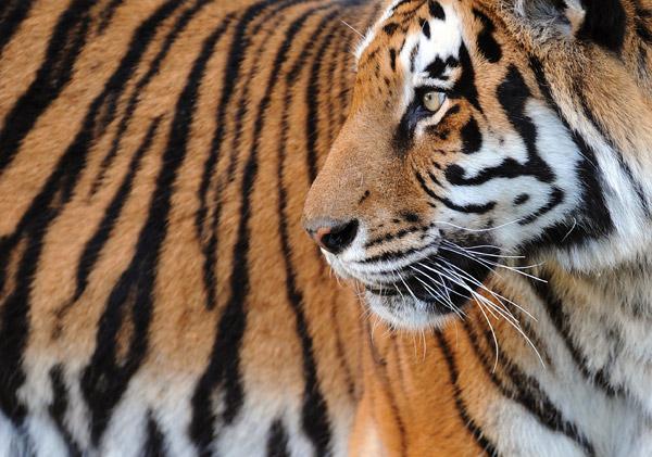 Bengal Tiger in Dreams