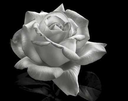 By converting to black and white a deeper indefinable essence of the flower often seems to be revealed
