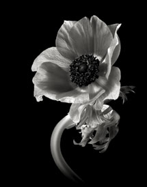 Black and white flower portraiture shutterbug anemone mightylinksfo Image collections