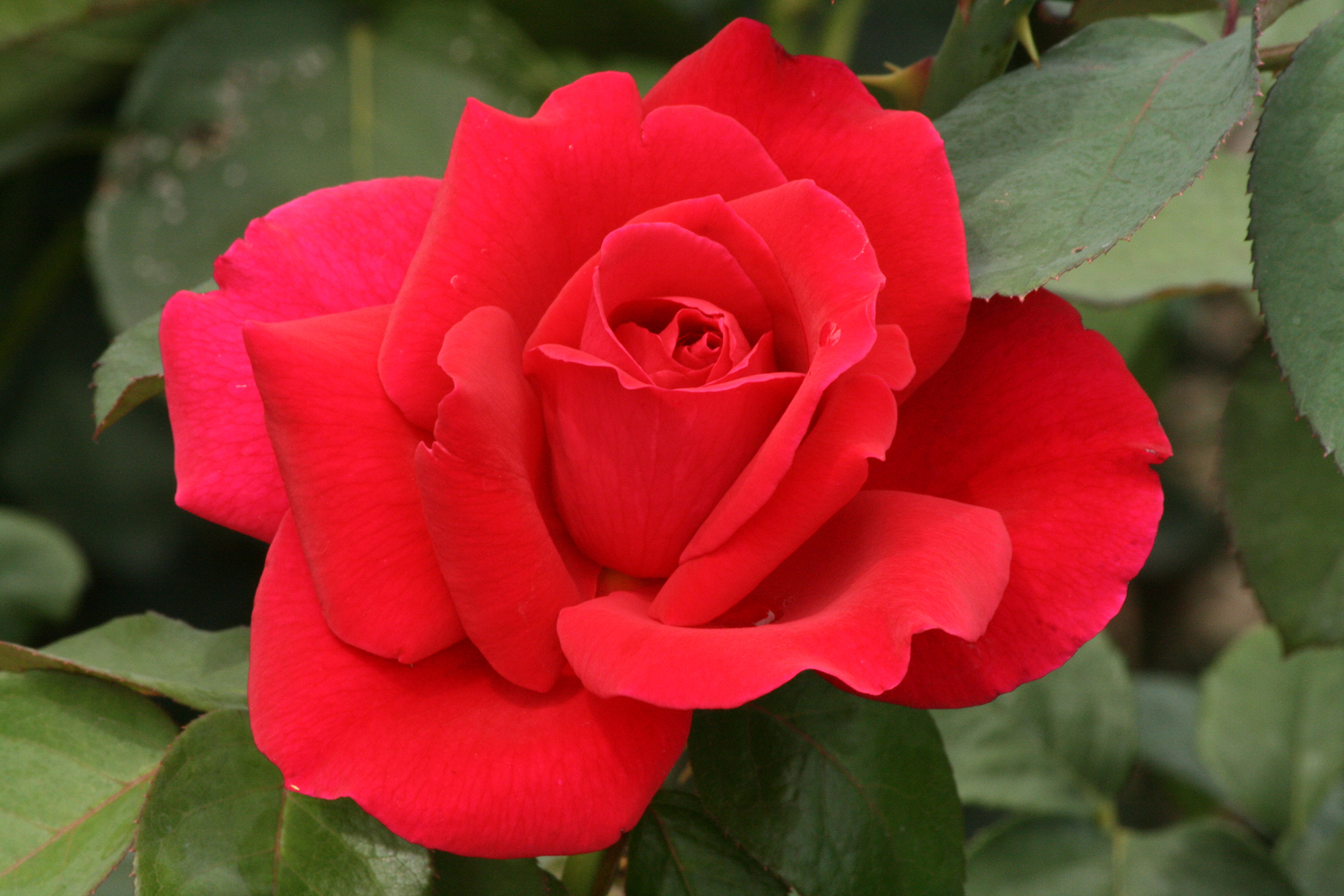 The Hybrid Tea Rose Mister Lincoln Shutterbug