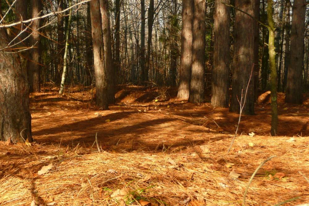 Bed Of Pine Needles Shutterbug