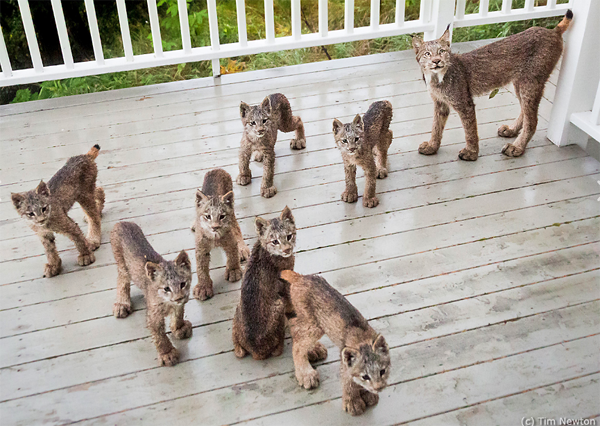 Alaskan Wildlife Photographer Captured These Adorable Lynx Kits Right Outside His Back Door