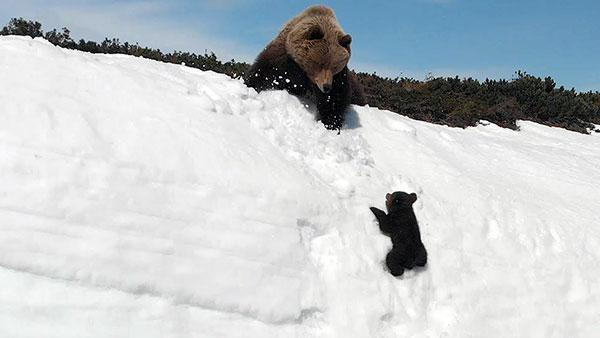 Watch the Gripping Video of a Mama Bear and Her Cub Climbing a Snowy Slope that Went Viral Today