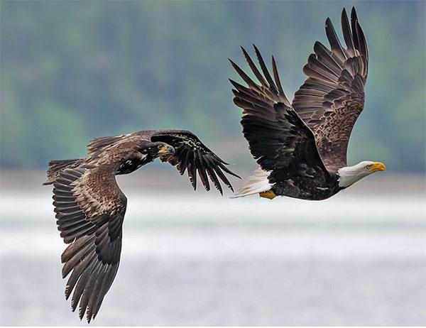Watch This Incredible Video of Bald Eagles Flying & Fighting