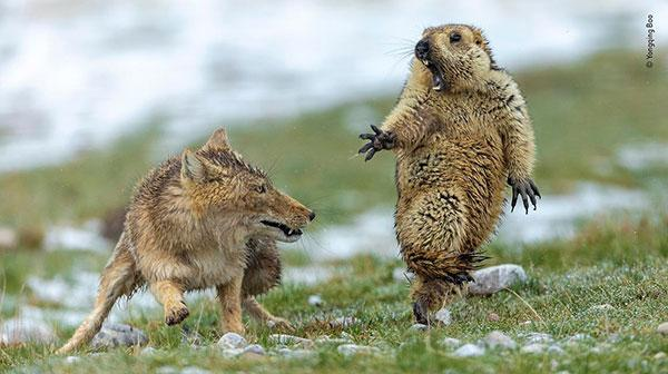 This Amazing Image of a Wolf Scaring a Marmot Won Top Prize in Wildlife Photographer of the Year Contest