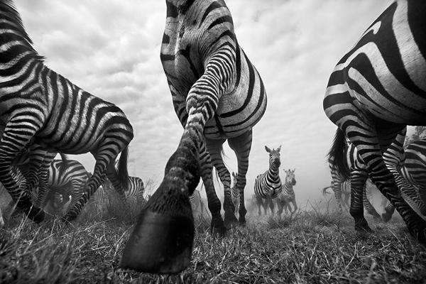 Take a Look at the Eye-Popping B&W Wildlife Images of Fine Art Photographer Anup Shah