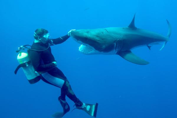 Underwater Photographer Jean-Marie Ghislain Captures Diver Playing with Great White Sharks