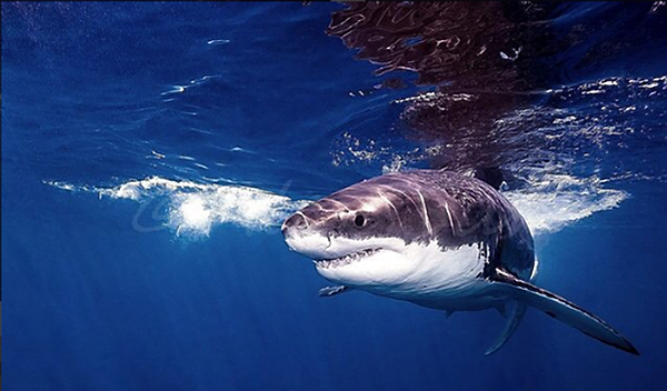 Underwater Photographer Makes Incredible Images of Great White Sharks Above & Below the Surface