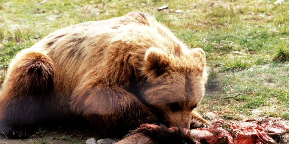 Brown Bear Eating A Moose The Cycle Of Life Continues