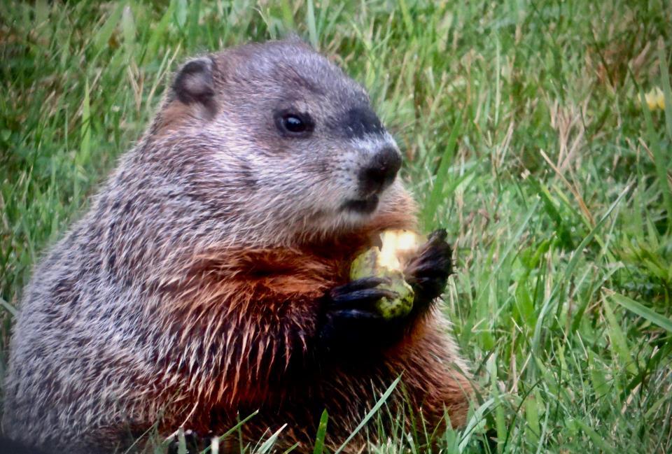 Groundhog eating pear   Shutterbug