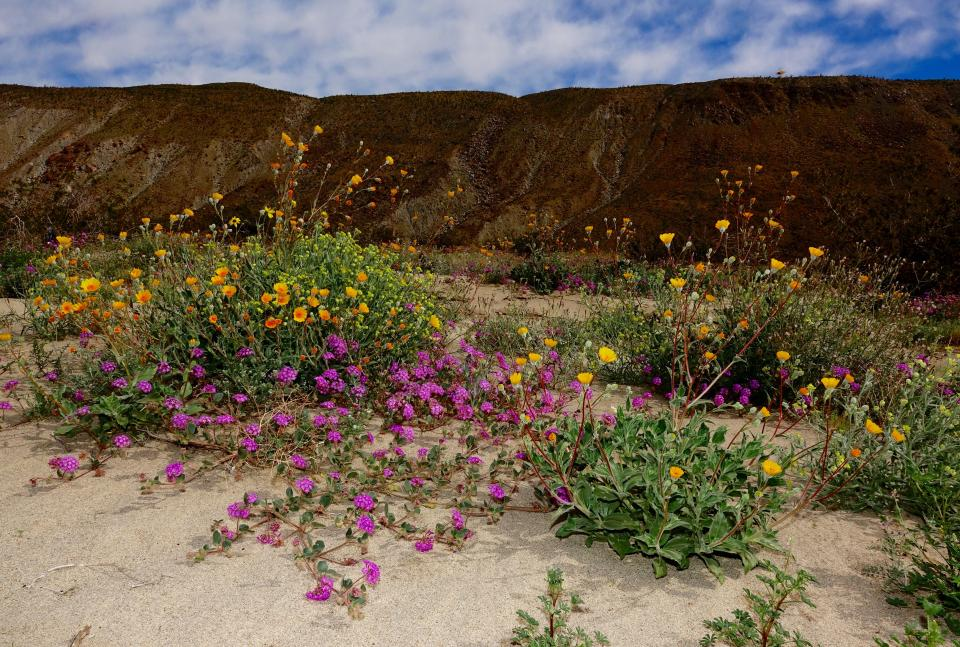 Anza borrego spring flowers shutterbug visited the southern california desert site of anza borrego flowers are amazing this spring photo taken with sony rx10 mk3 f8 11250 sec with flash mightylinksfo