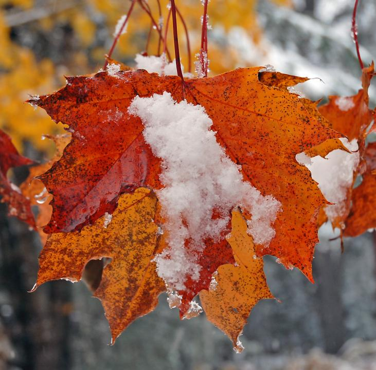Image result for snow and colored leaves fall