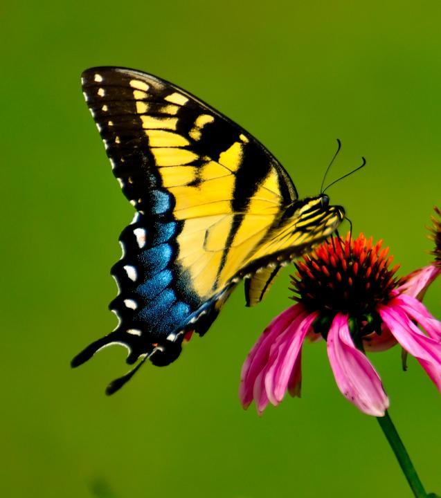 swallowtail butterfly shutterbug